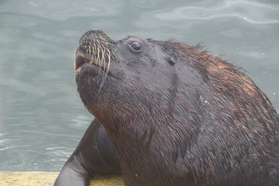 Patagonian sea lion - an awesome sight at Seal Sanctuary, Gweek, Cornwall