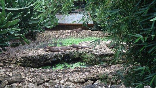 Saint Peter Parish, Barbados: Iguanas