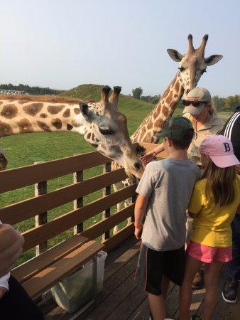 African Lion Safari: Up Close with a Giraffe