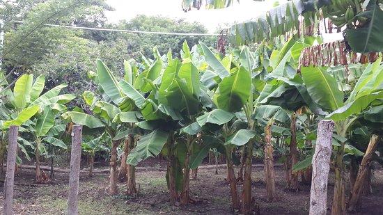 Rivas Department, Nicaragua: Sus propios plátanos.