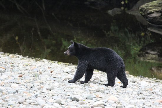 Port Hardy, Canadá: Black bear Quatse River