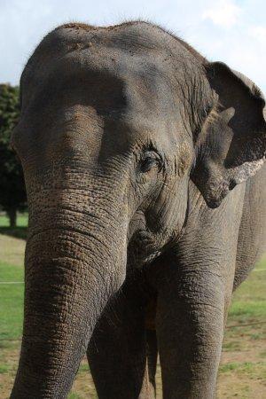 Woburn, UK: elephant