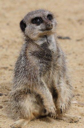 Woburn, UK: meerkat