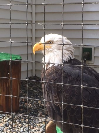 Sitka, AK: Bald eagle in recovery