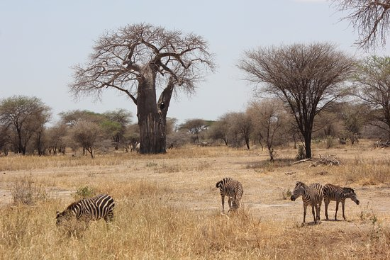 Tarangire National Park, Tanzania: Zebras in front of a Baobab tree
