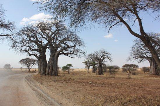 Tarangire National Park, Tanzânia: Baobab Trees