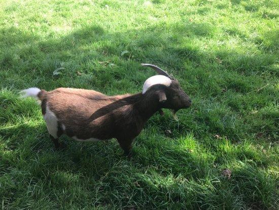 Truro, UK: Goat