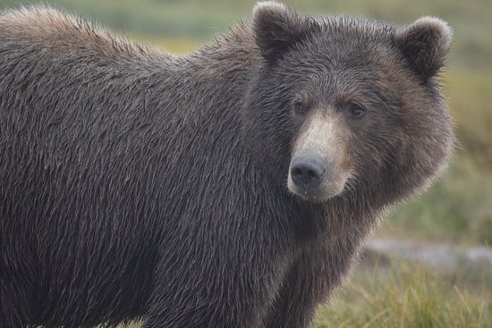 Alaska Bear Adventures: Our buddy who stopped no more than 30 feet from us. Awesome!