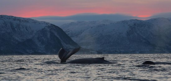 Arctic Adventure Tours - Day Tours: Humpback whales feeding in the fjords of Tromso.