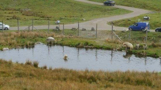 Kingussie, UK: Polar Bears Swimming