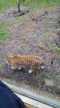 Kingussie, UK: Amur Tiger