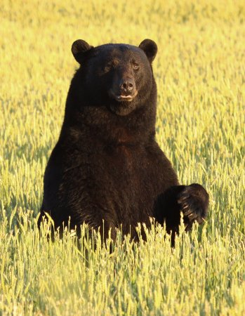 Plymouth, Северная Каролина: The wheat is ripe late May and attracts many bears, including this big male bear.