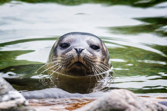 Killinchy, UK: Rescued Baby Seal at Exploris. Portaferry. Strangford