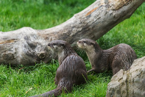 Killinchy, UK: Otters at Exploris. Portaferry. Strangford.