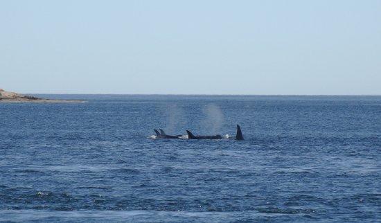 San Juan Islands, WA: Orca's