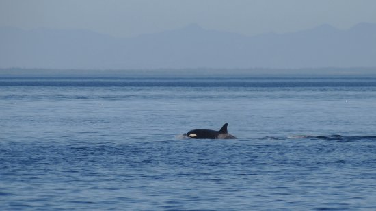 San Juan Islands, WA: Orca