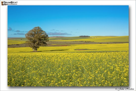 Swellendam, Sudáfrica: The resort is surrounded by fields of Canola
