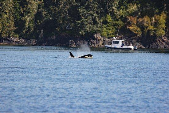 Port McNeill, Kanada: orca