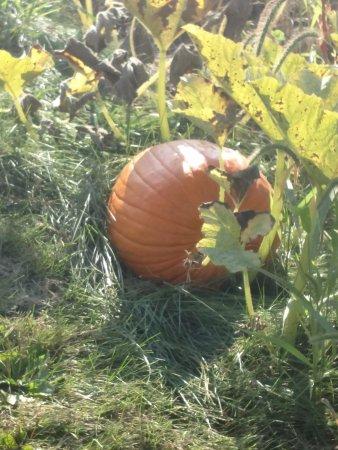 Oswego, IL: Pumpkins