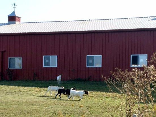 Oswego, IL: Goats