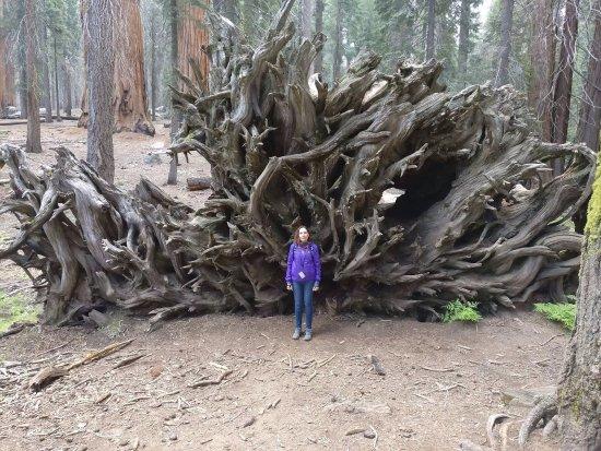 Three Rivers, Californien: fallen Sequoia