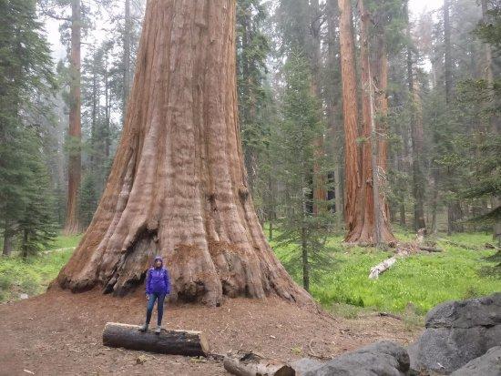 Три-Риверс, Калифорния: a very big tree!