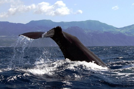 Azores Whale Watching TERRA AZUL