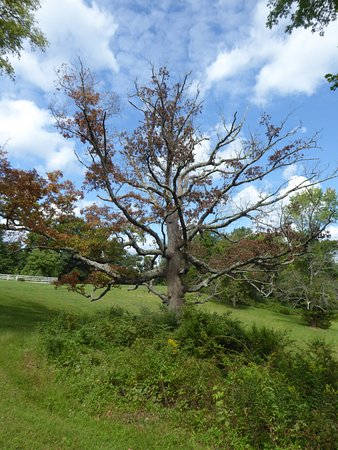 Culpeper, VA: 200+ Year Old Tree