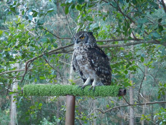 Plettenberg Bay, South Africa: Owl resting on a perch...right by our heads...it was awesome.