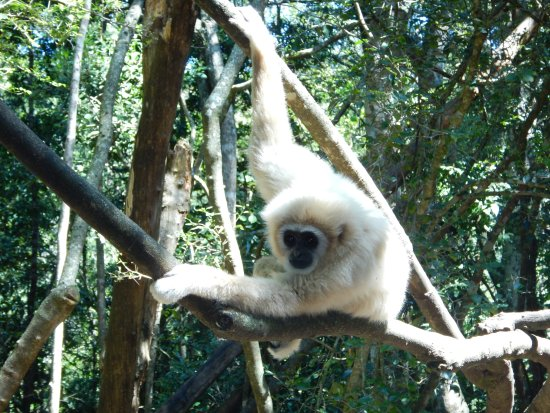 The Crags, África do Sul: Gorgeous (and playful) golden monkey...look at how long his arms are.