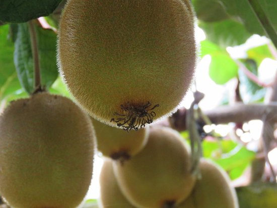 Te Puke, Νέα Ζηλανδία: I'm a new fan to gold kiwi - didn't know there was such a thing!