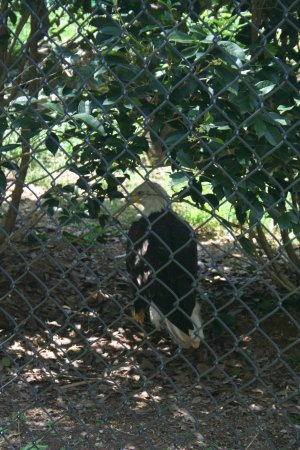 Huntersville, NC: You may see a Bald Eagle if you're lucky