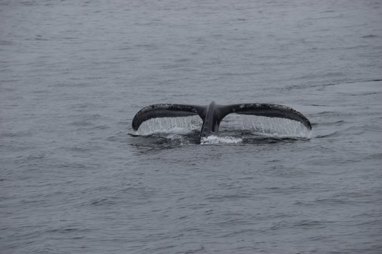 Capt Bill & Sons Whale Watch: Fluke