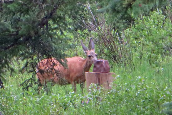 Silver Gate, MT: Mule deer near one of the cabins