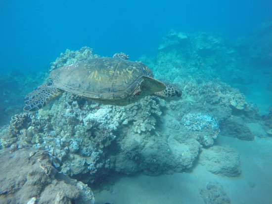 Aqua Adventures : Turtle at Wailea Point