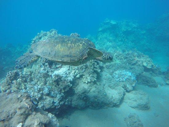 Вайкуку, Гавайи: Turtle at Wailea Point
