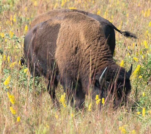 Hungry Bison Picture Of Franklin Grove Illinois