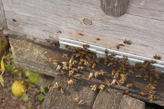 Khabarovsk Krai, Russie : мёд в улей