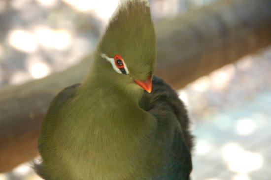 The Crags, Zuid-Afrika: Knysna turaco, beautiful red wings only revealed when flying!