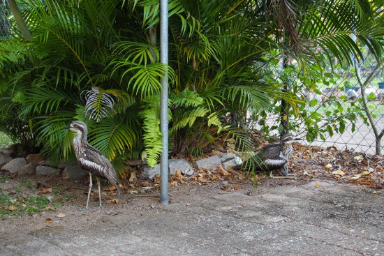 Arcadia, Australia: Curlews and chick right outside our backdoor