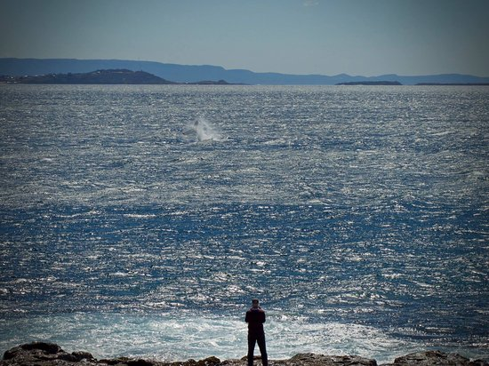 Shellharbour, Australia: Whale watching at Bass Point,September.No boat required.
