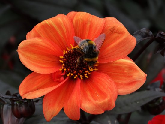 Wimborne Minster, UK: One of many bees enjoying the flowers in front of the house