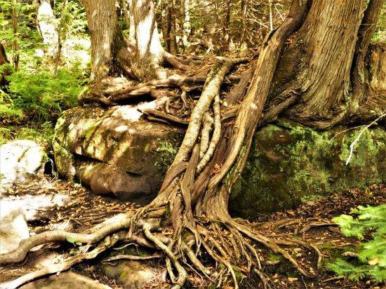 L'Anse, MI: Cool tree roots