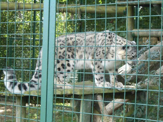 Smarden, UK: Snow leopard - one of a breeding pair