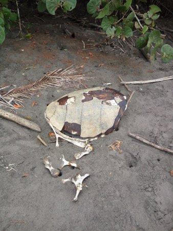 Tortuguero, Costa Rica: Esqueleto de tortuga encontrado en la playa del Parque Nacional
