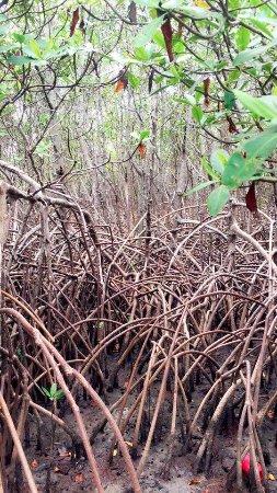 Fort Pierce, FL: mangroves