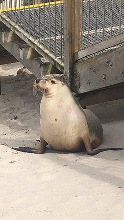 Kingscote, Australia: Leoni marini