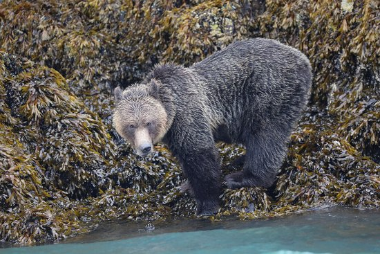 Tide Rip Grizzly Tours: Feeding on the shores of Knight Inlet