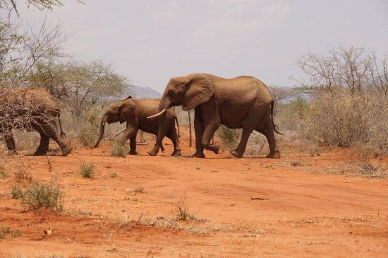 Voi, Kenya: OUR RESIDENT ELEPHANTS