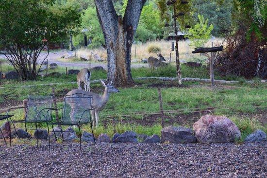 Portal, Αριζόνα: Deer in the garden.